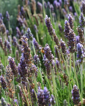 flower lavender picture, Lavandula Officinalis, English Lavender