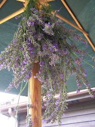 Hang Lavender upside down
