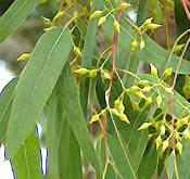 eucalyptus essential oils