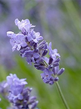 Lavandula Angustifolia, Munstead Lavender, flower lavender picture