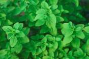 Marjoram Essential Oils