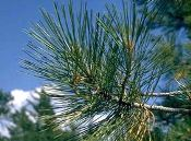 Pine Essential Oils