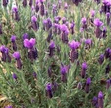 flower lavender picture, hidcote lavender