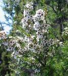 Tea tree essential oils